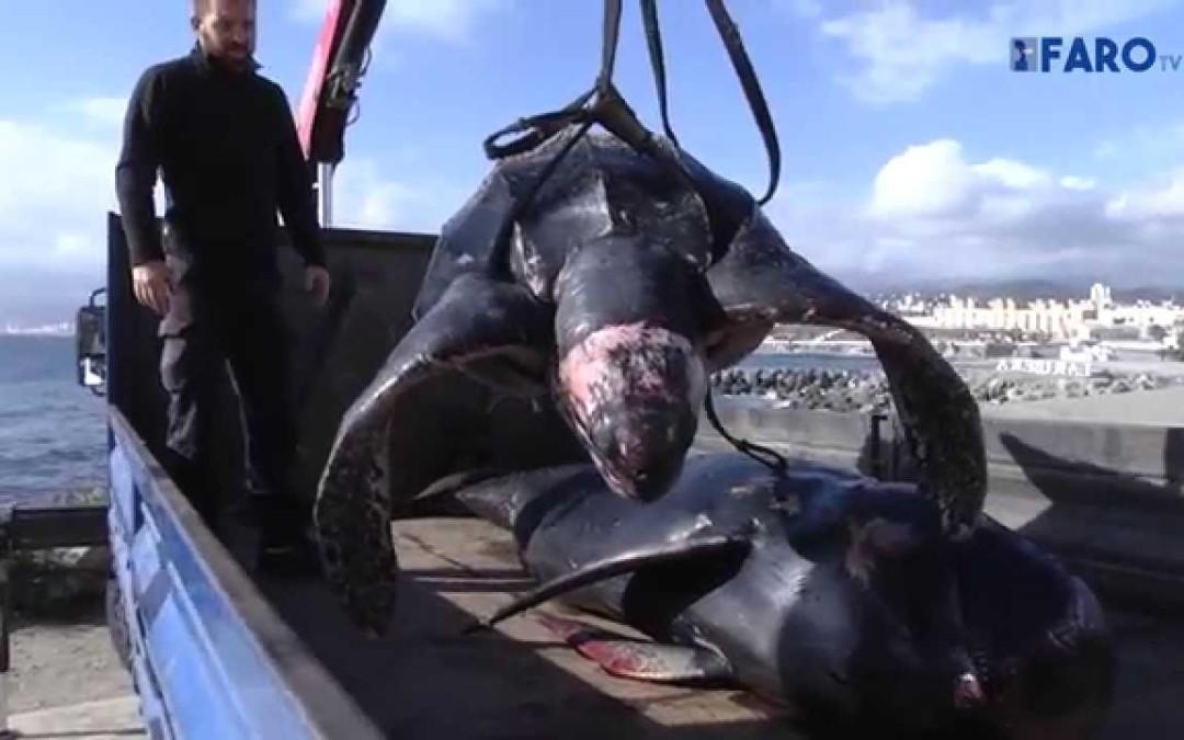 Tortugas laúd varadas en Ceuta en el Chorrillo y Fuentecaballo