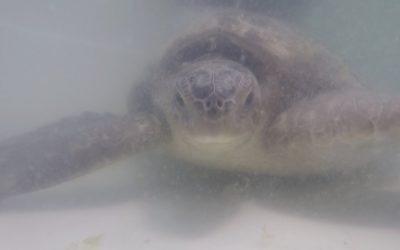 El Oceanogràfic de Valencia hará un seguimiento de las tortugas verdes recuperadas por el CECAM
