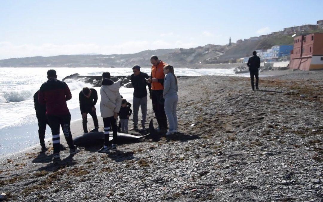 Encontrado en la playa de la Almadraba un delfín muerto